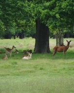 (Thumbnail) Deer in Richmond Park, 20 May 2016