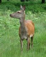 リッチモンド・パーク:鹿(2016年6月5日)