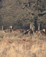 (Thumbnail) Deer in Richmond Park, 7 February 2018 (2)