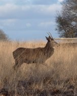 (Thumbnail) Deer in Richmond Park, 7 February 2018 (3)