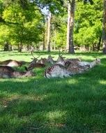 リッチモンド・パーク:鹿(2018年5月5日:5)