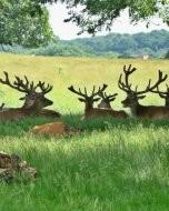 リッチモンド・パーク:鹿(2018年6月8日:7)