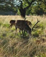 リッチモンド・パーク:鹿(2018年9月17日:13)