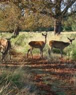 リッチモンド・パーク:鹿(2018年9月17日:14)