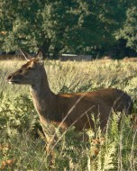 リッチモンド・パーク:鹿(2018年9月17日:18)