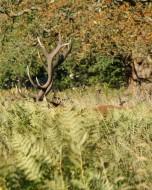 リッチモンド・パーク:鹿(2018年9月17日:19)