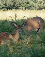 リッチモンド・パーク:鹿(2018年9月17日:24)