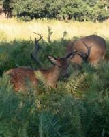 リッチモンド・パーク:鹿(2018年9月17日:25)