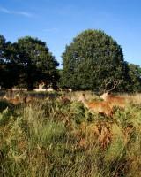 リッチモンド・パーク:鹿(2018年9月17日:31)