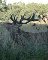 リッチモンド・パーク:鹿(2018年9月17日:33)