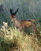 リッチモンド・パーク:鹿(2018年9月17日:37)