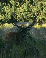 リッチモンド・パーク:鹿(2018年9月17日:39)