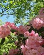 リッチモンド・パーク:花(2018年5月5日:9)